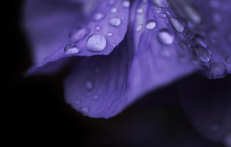 Photo wallpaper flower, purple, water, drops, macro, flowers, Rosa, background, pink, widescreen, Wallpaper, drop, petals, wallpaper, flower, …
