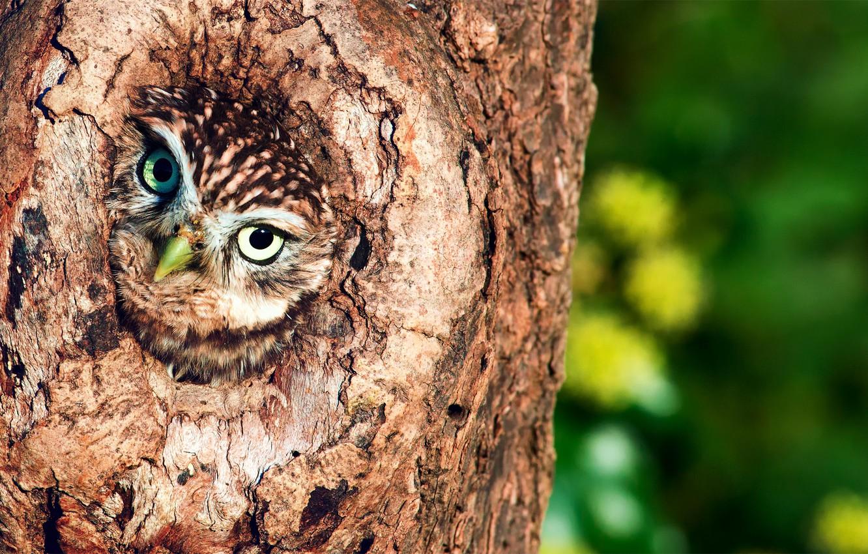 Photo wallpaper tree, owl, the hollow, birds