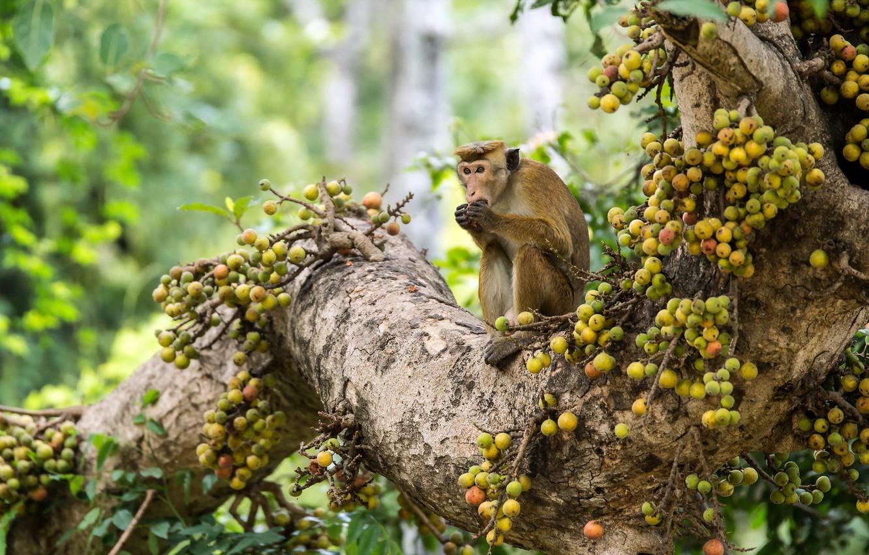 Photo wallpaper look, nature, monkey