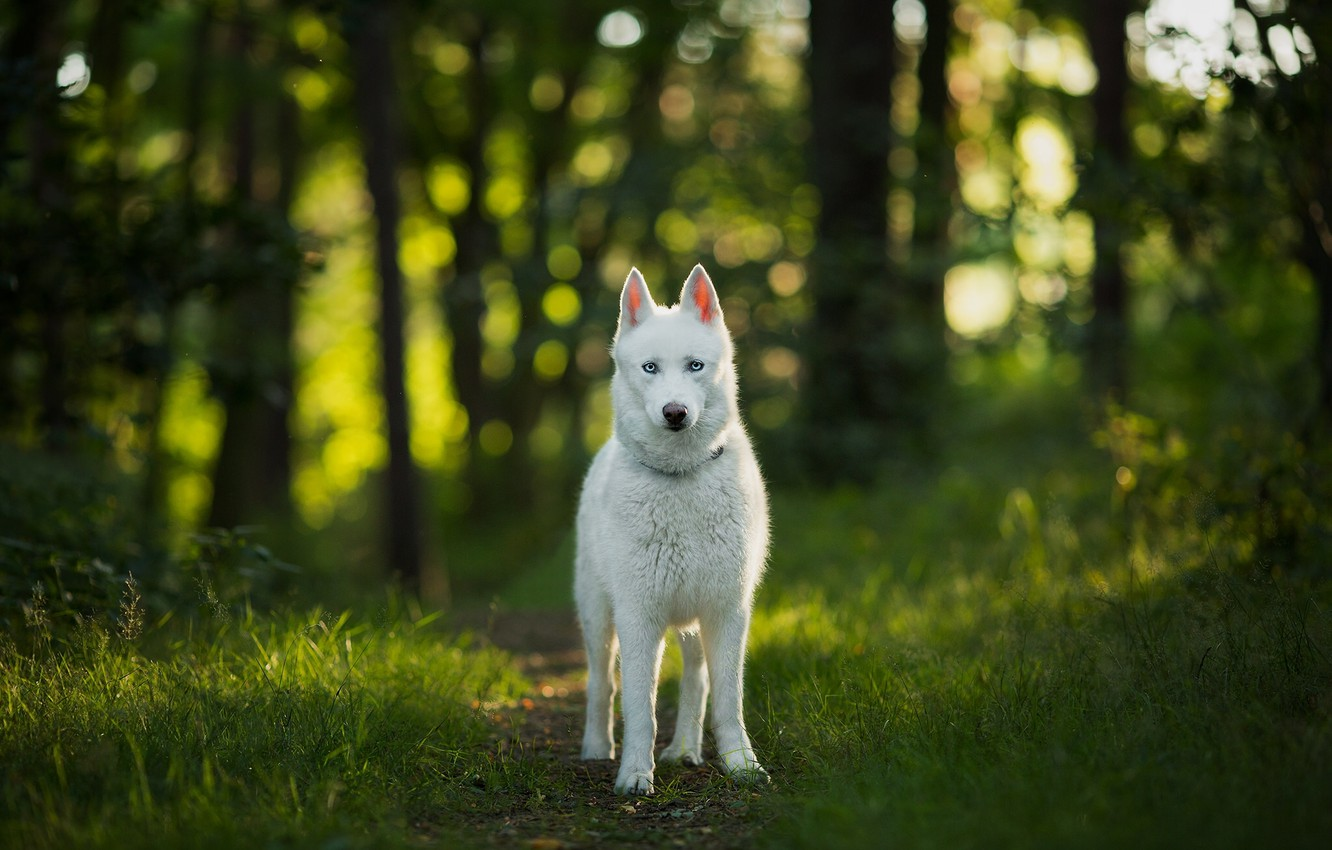 Photo wallpaper forest, look, dog