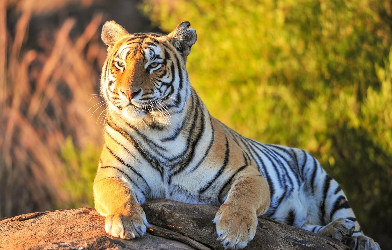Photo wallpaper greens, look, tiger, beast