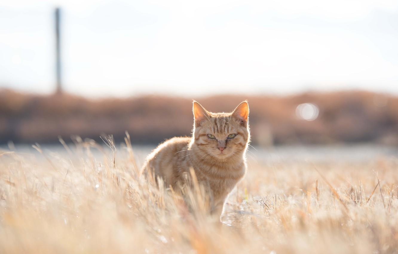 Photo wallpaper grass, field, cat, sunny