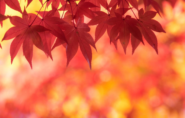 Photo wallpaper autumn, leaves, maple, scarlet