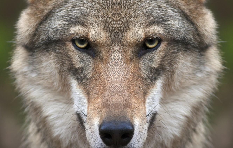 Photo wallpaper look, face, wolf, predator
