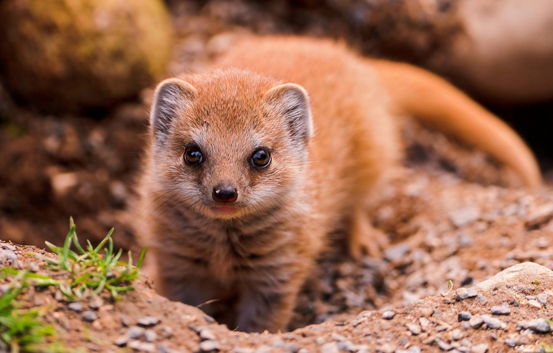 Photo wallpaper look, animal, mongoose
