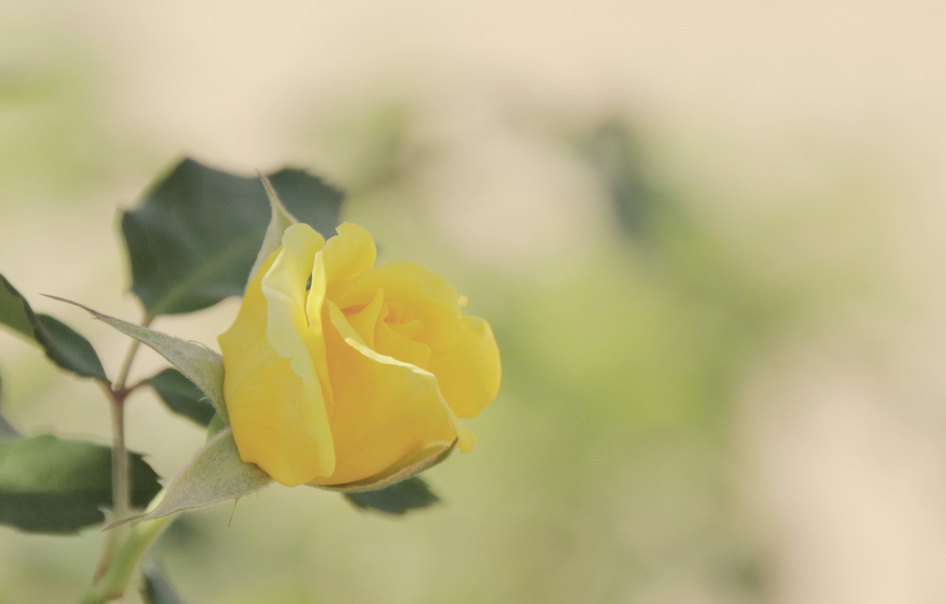 Photo wallpaper flower, leaves, macro, background, rose, color, blur, Bud, yellow