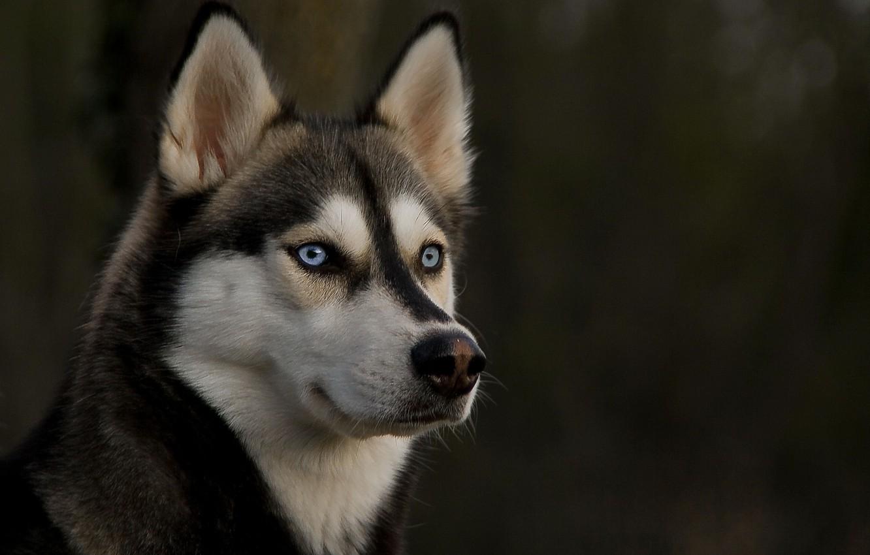 Photo wallpaper eyes, look, dog, ears, husky