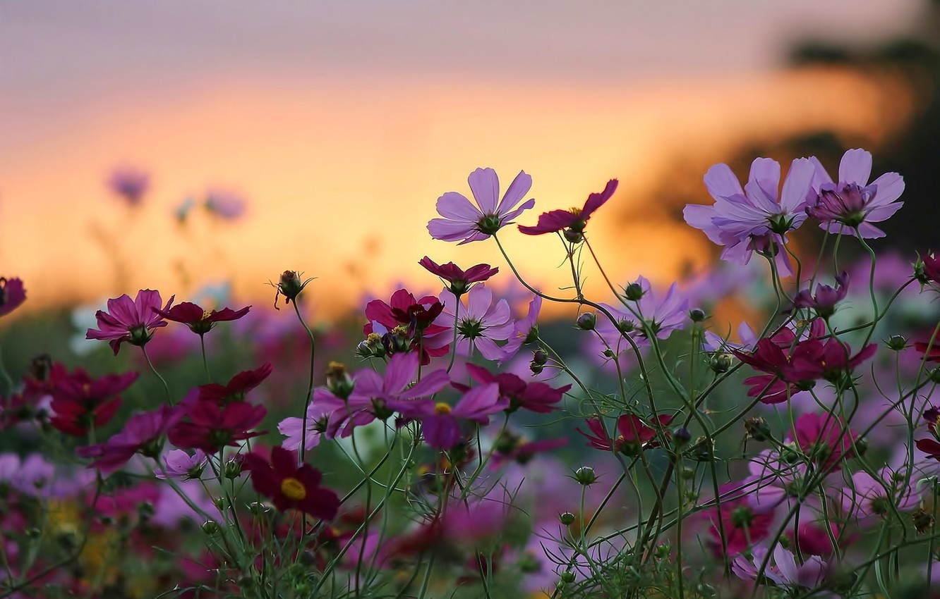 Wallpaper Sunset Flowers Nature Background Widescreen Wallpaper Beauty Wallpaper Nature Sunset Widescreen Flowers Background Beauty Full Screen Hd Wallpapers Images For Desktop Section Cvety Download