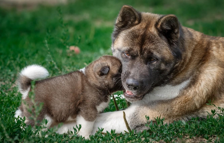 Photo wallpaper baby, puppy, mom, American Akita