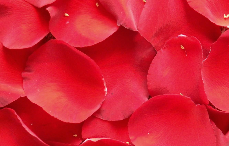 x Wallpapers Red Rose Petals Wallpaper Backgrounds Desktop