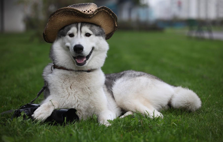 Photo wallpaper grass, dog, hat, the camera, lies, Laika, dog, guards