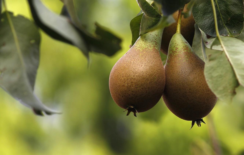 Photo wallpaper macro, tree, fruit, fruit, pear