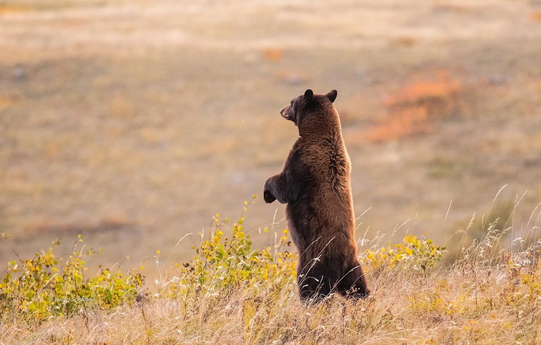 Photo wallpaper field, bear, meadow, stand
