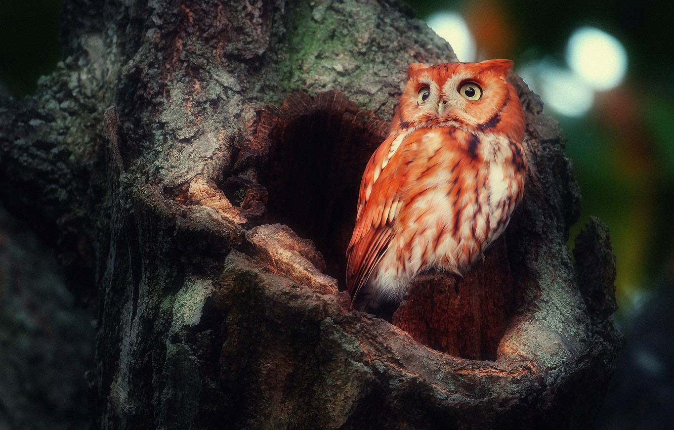 Photo wallpaper forest, tree, owl, bird, the hollow, sowing red