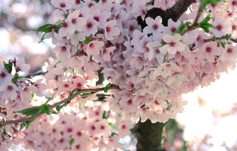 Photo wallpaper macro, flowers, tree, branch, spring, Sakura, flowering