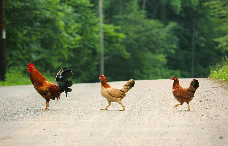 Photo wallpaper road, trees, chicken, go, cock