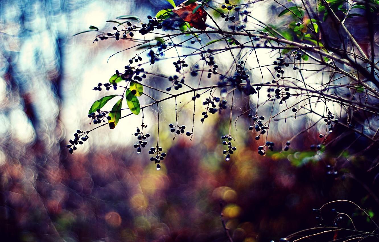 Photo wallpaper leaves, color, drops, nature, berries, photo, background, branch, Wallpaper, plants, blur, bokeh