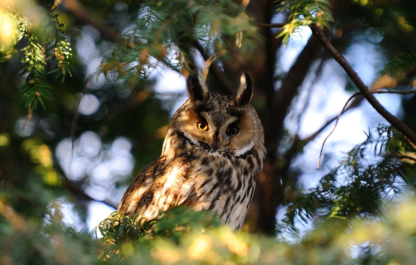 Photo wallpaper Nature, Photo, Tree, Owl, Branches