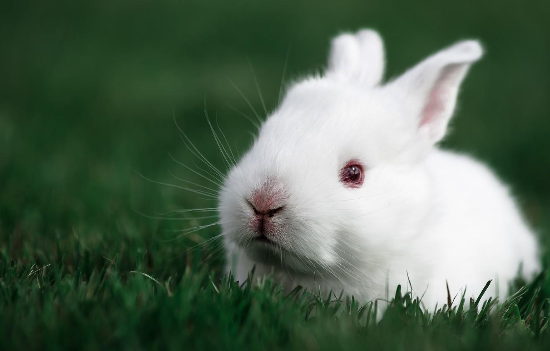 Photo wallpaper rabbit, rabbit, white rabbit