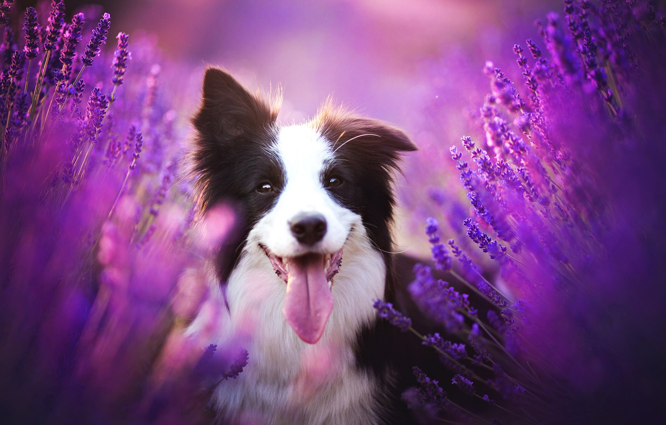 Photo wallpaper language, look, face, flowers, dog, lavender, The border collie