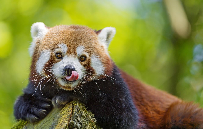 Photo wallpaper language, look, face, red Panda, firefox, red Panda, ©Tambako The Jaguar