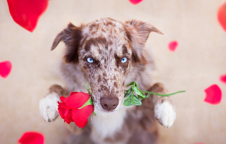 Photo wallpaper look, each, rose, dog