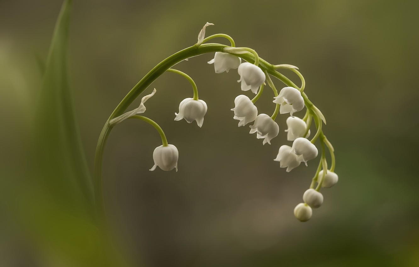 Wallpaper Flower Macro Lily Of The Valley Images For Desktop