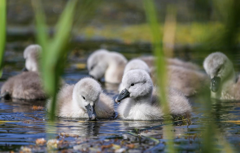 Photo wallpaper water, birds, reed, kids, swans, Chicks