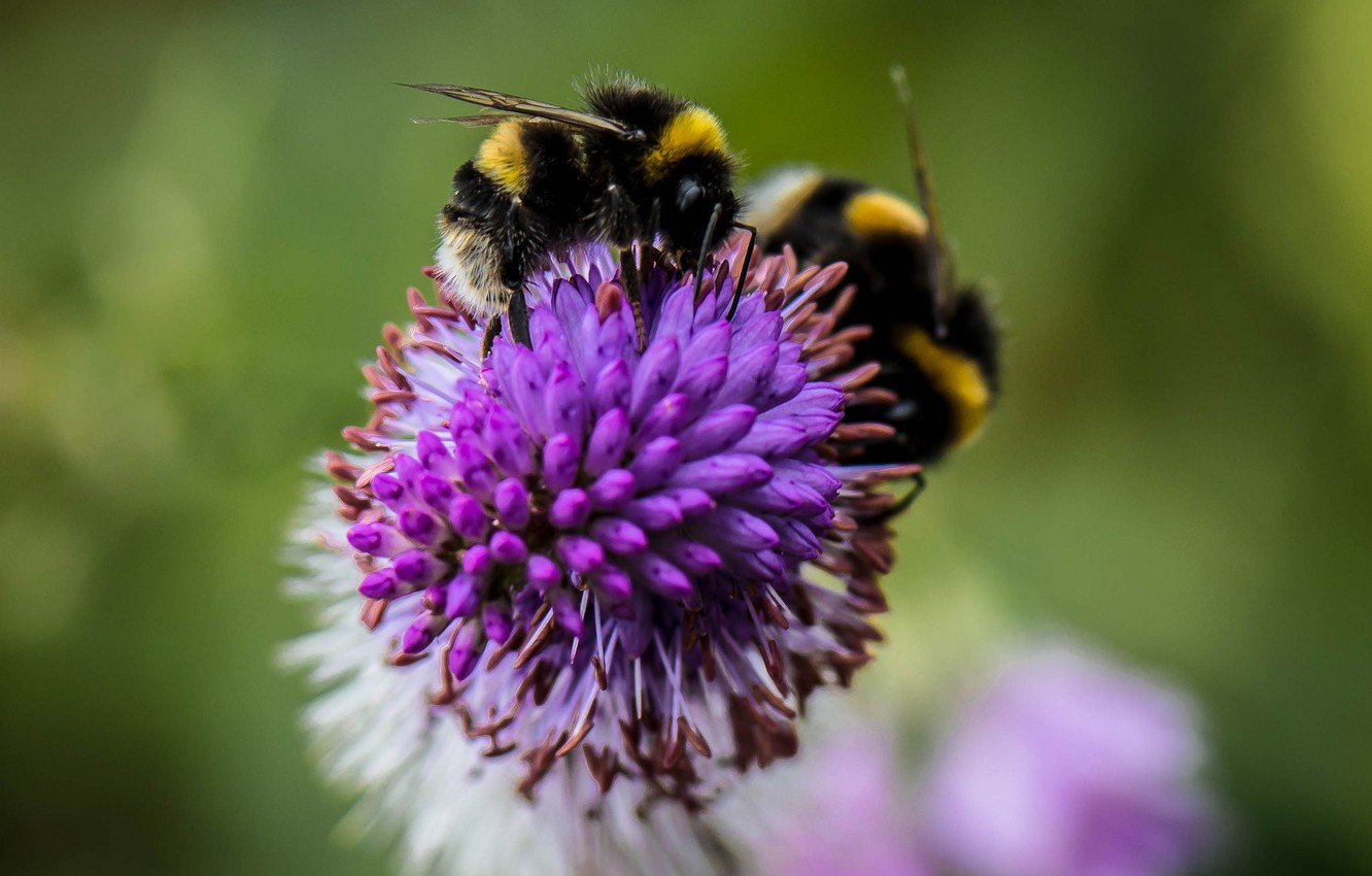Photo wallpaper flower, insect, bumblebee
