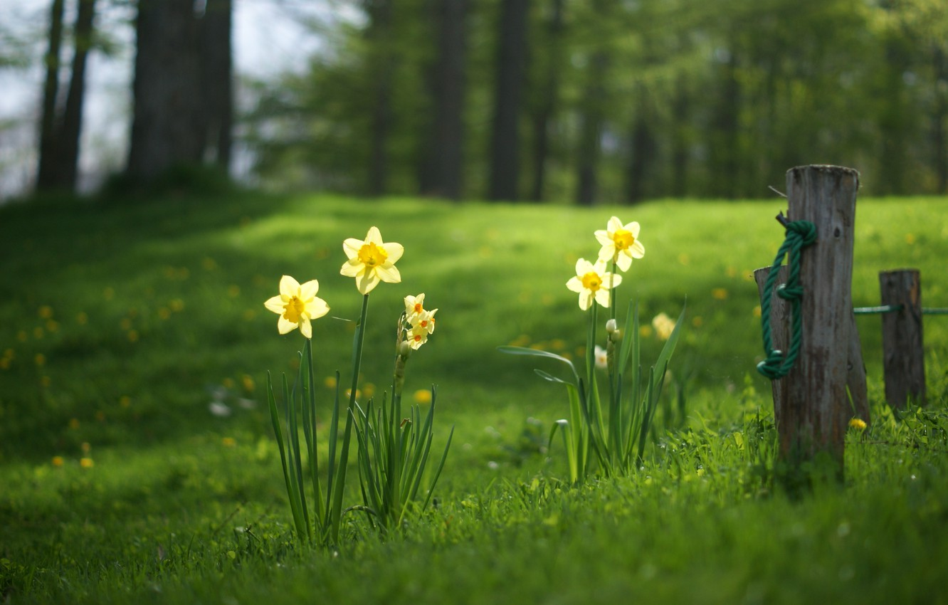 Photo wallpaper forest, summer, grass, glade, daffodils