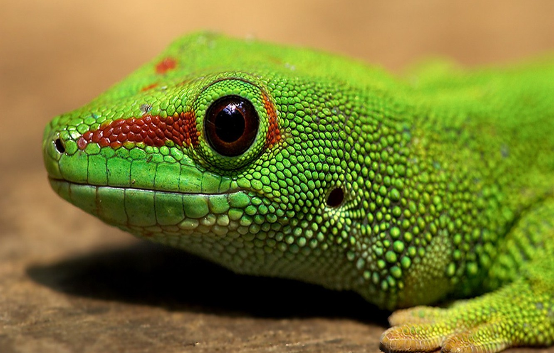Photo wallpaper green, eyes, Lizard