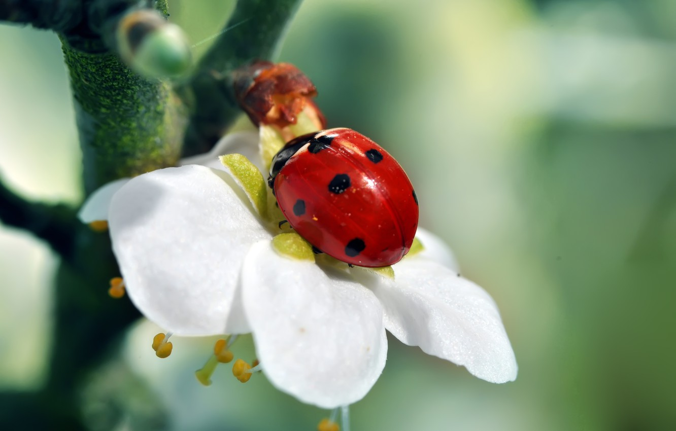 Photo wallpaper white, flower, red, green, tree, ladybug, branch, insect