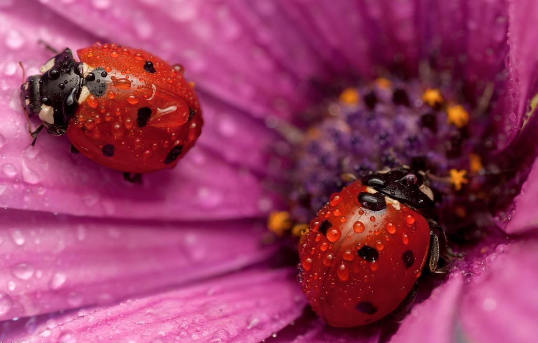 Photo wallpaper flower, drops, ladybug, petals