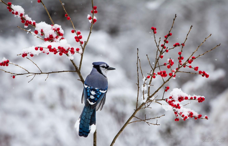Photo wallpaper winter, snow, branches, berries, bird, Jay