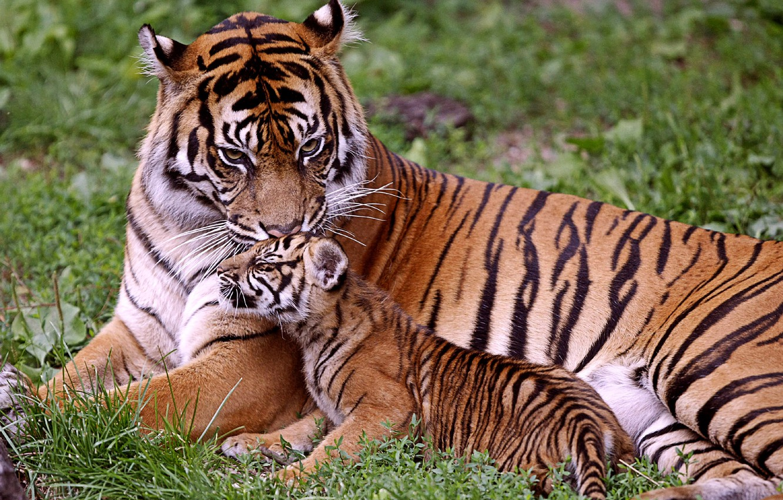 Photo wallpaper baby, tigers, mom, tigress, tiger