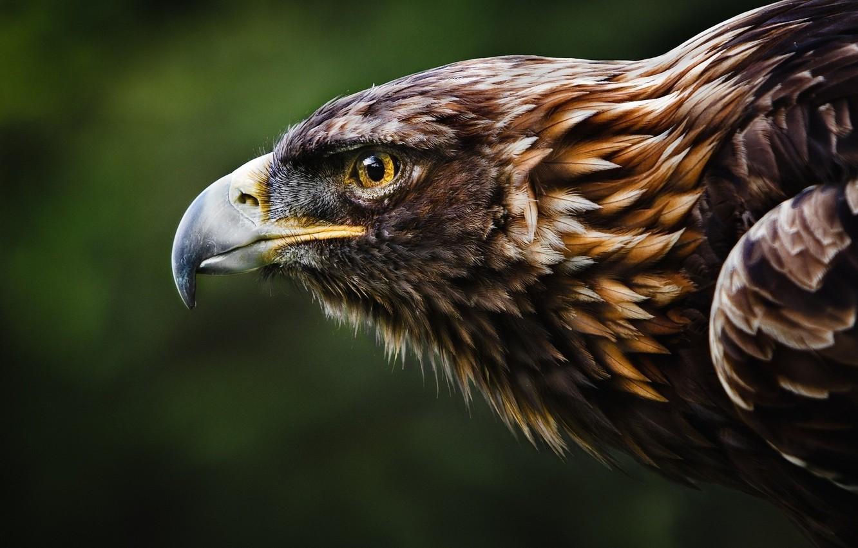 Photo wallpaper bird, eagle, head, animal wallpaper