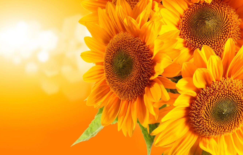 Photo wallpaper sunflowers, glare, orange background