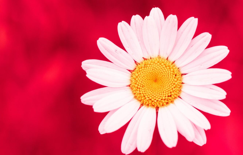 Photo wallpaper flower, background, petals, Daisy