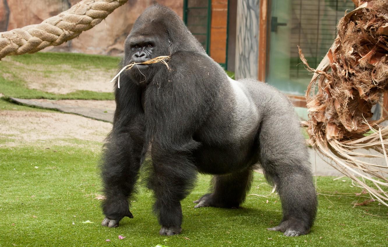 Photo wallpaper monkey, gorilla, male, the primacy of