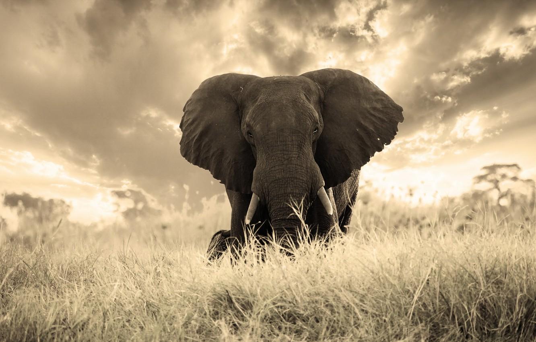Photo wallpaper nature, background, elephant