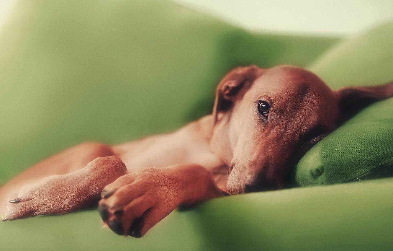 Photo wallpaper sofa, dog, paws, red
