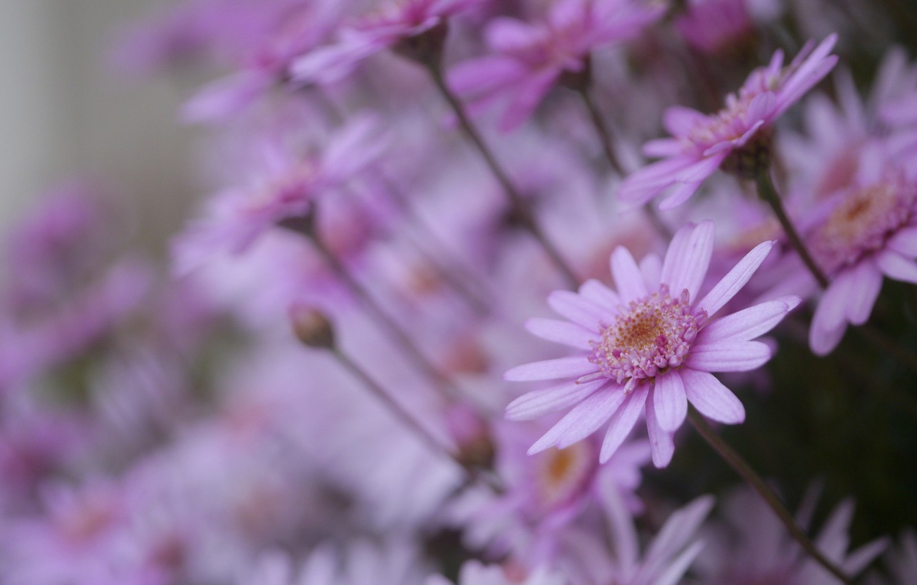 Photo wallpaper flowers, chamomile, pink, a lot