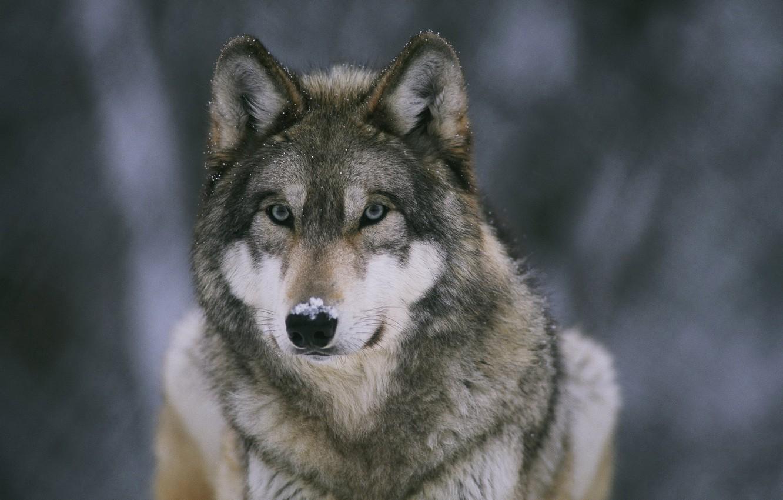 Photo wallpaper snow, Wallpaper, wolf, predator, beast, forest, wallpapers, medic, nose
