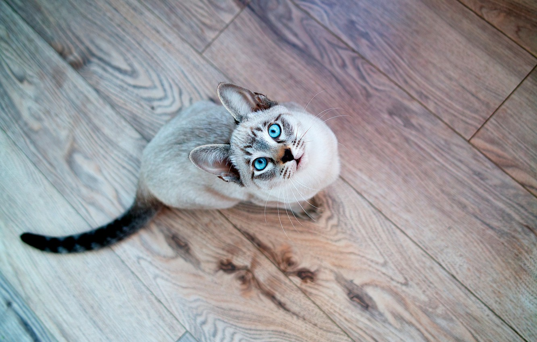 Photo wallpaper cat, look, Cat, muzzle, blue eyes, Siamese