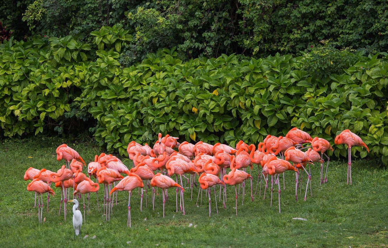 Photo wallpaper birds, pink, Flamingo