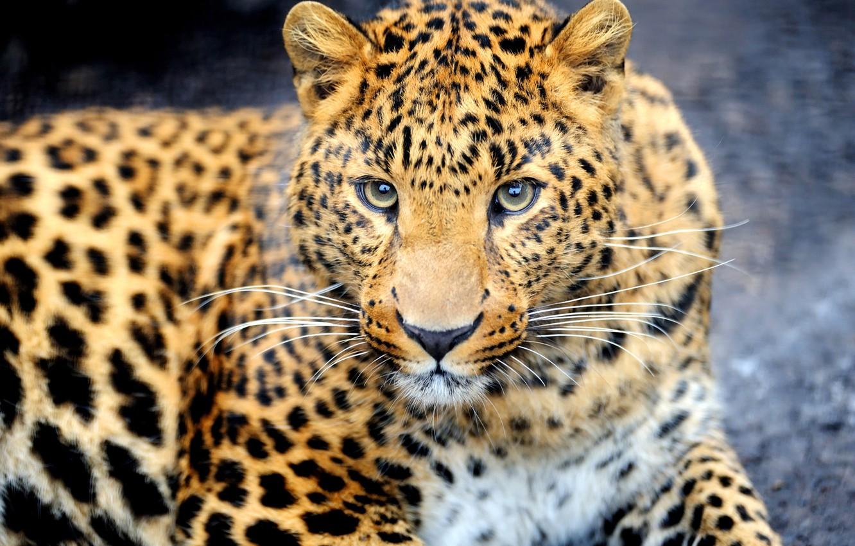 Photo wallpaper look, face, animal, predator, leopard, color