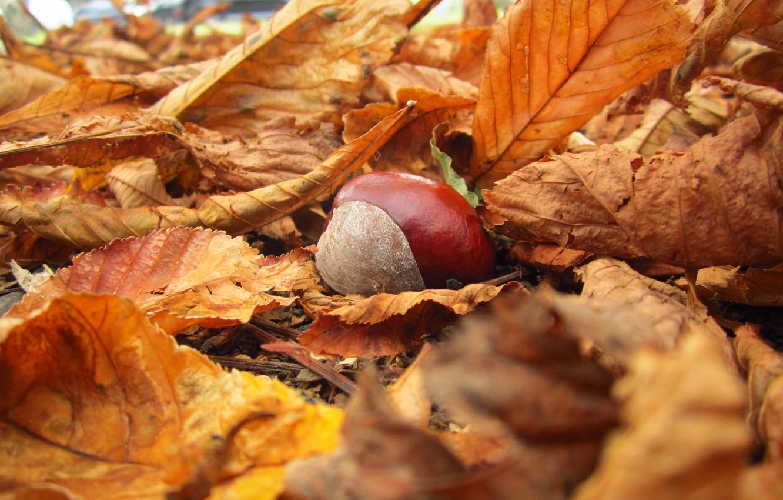 Photo wallpaper autumn, leaves, macro, nature, yellow, fallen, chestnut