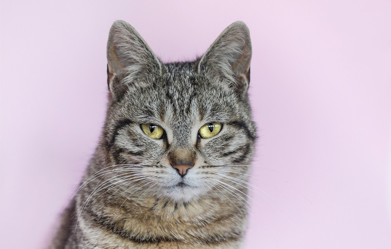 Photo wallpaper cat, grey, background, portrait, striped