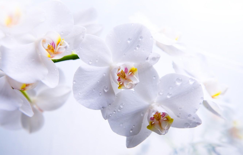 Photo wallpaper flowers, petals, stem, white, orchids, Phalaenopsis