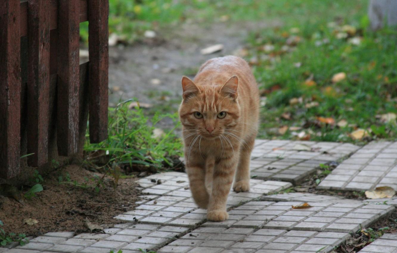 Photo wallpaper cat, look, cats, animal, village, red, walk